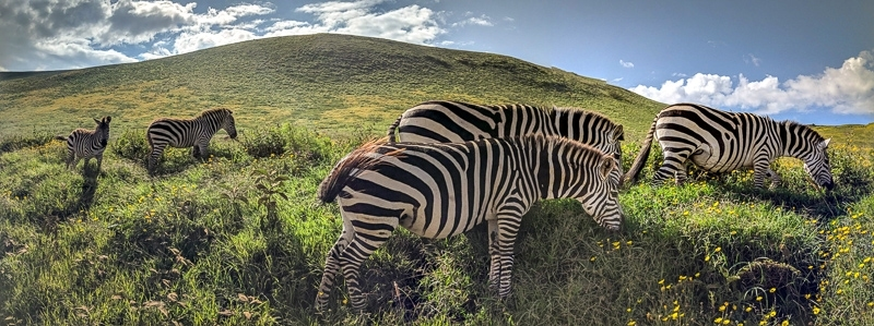 Zebras   First Timer's Guide to Camping in the Serengeti