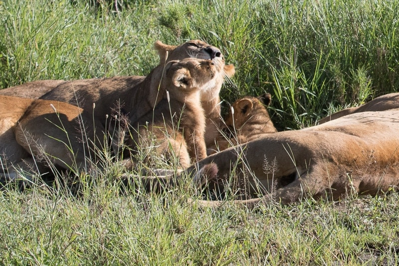 Lion Cuddles   First Timer's Guide to Camping in the Serengeti