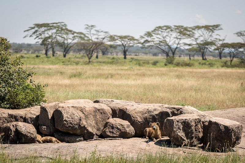 Hyenas | First Timer's Guide to Camping in the Serengeti