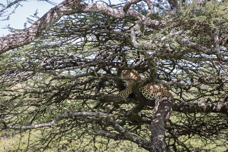 Leopard | First Timer's Guide to Camping in the Serengeti