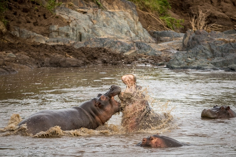 Hippo Battle | First Timer's Guide to Camping in the Serengeti