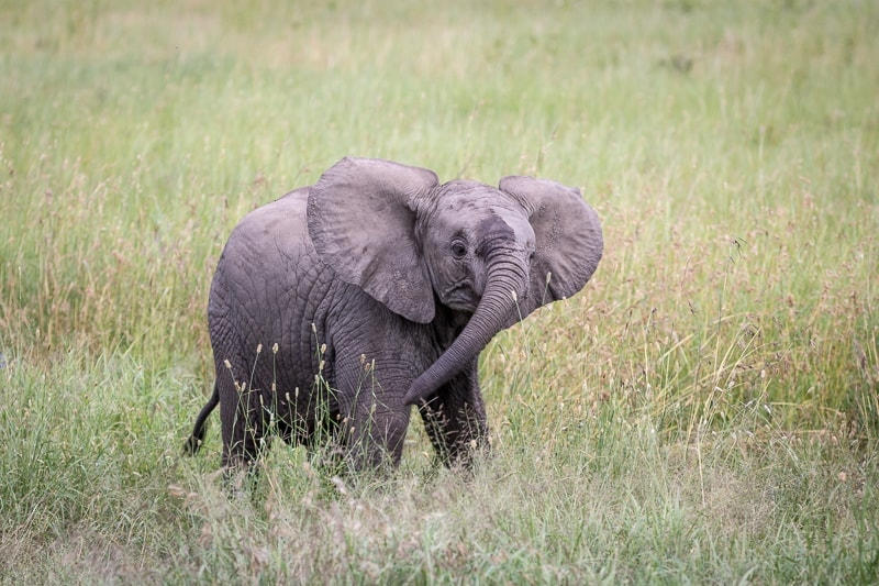 Baby Elephant | First Timer's Guide to Camping in the Serengeti