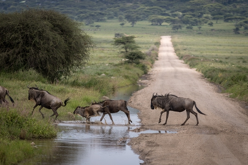 Wildebeest Migration   First Timer's Guide to Camping in the Serengeti